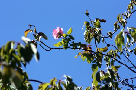 rose high