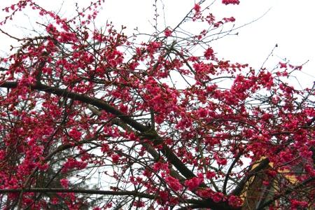 Blossoms 20150214_small