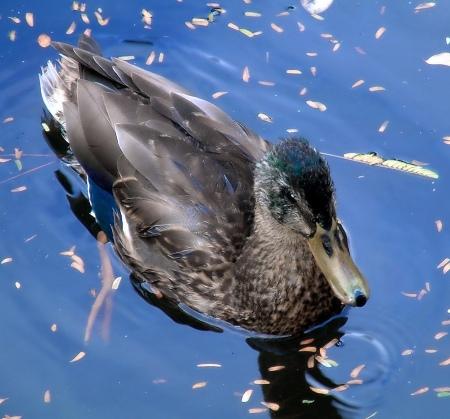 Duck in blue