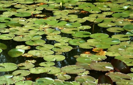 Lily-Pads-I