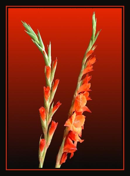 gladioli III