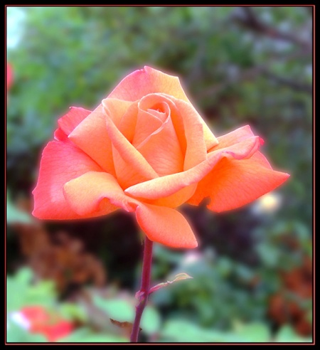 Late-Summer-Rose