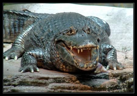 gator-I