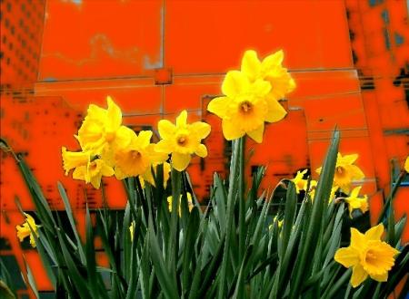 urban daffodils