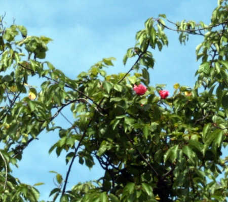 roses in the trees